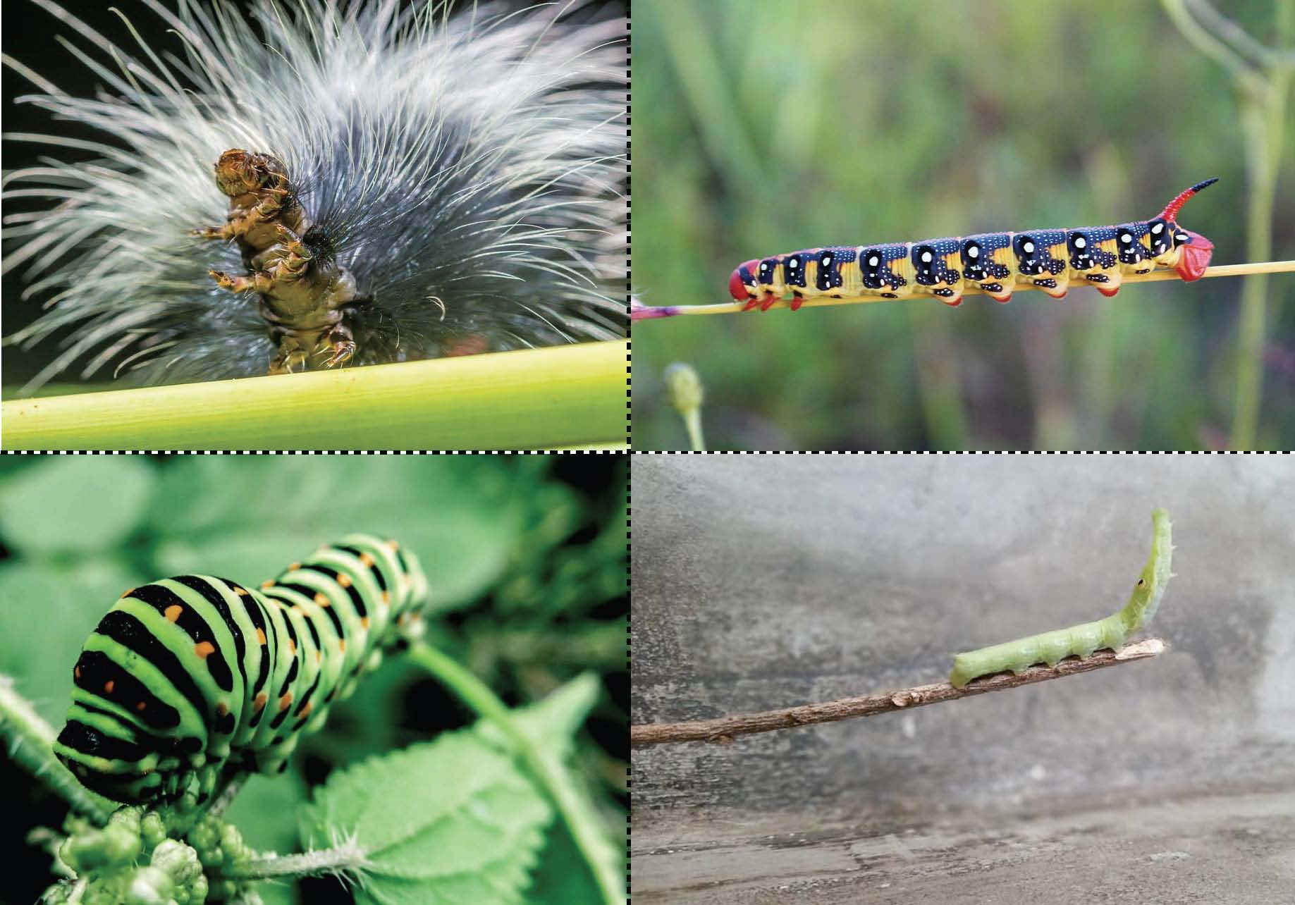 photographs of real caterpillars