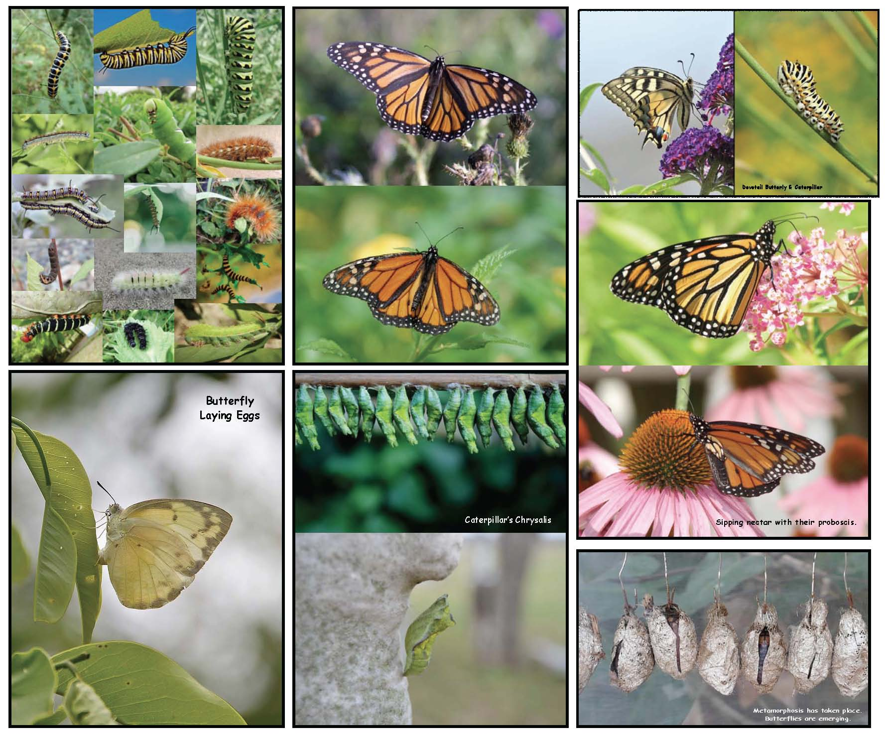 life cycle of a butterfly activities, life cycle of a butterfly crafts, the very hungry caterpillar activities, photographs of real butterflies, photographs of caterpillars, he very hungry caterpillar crafts