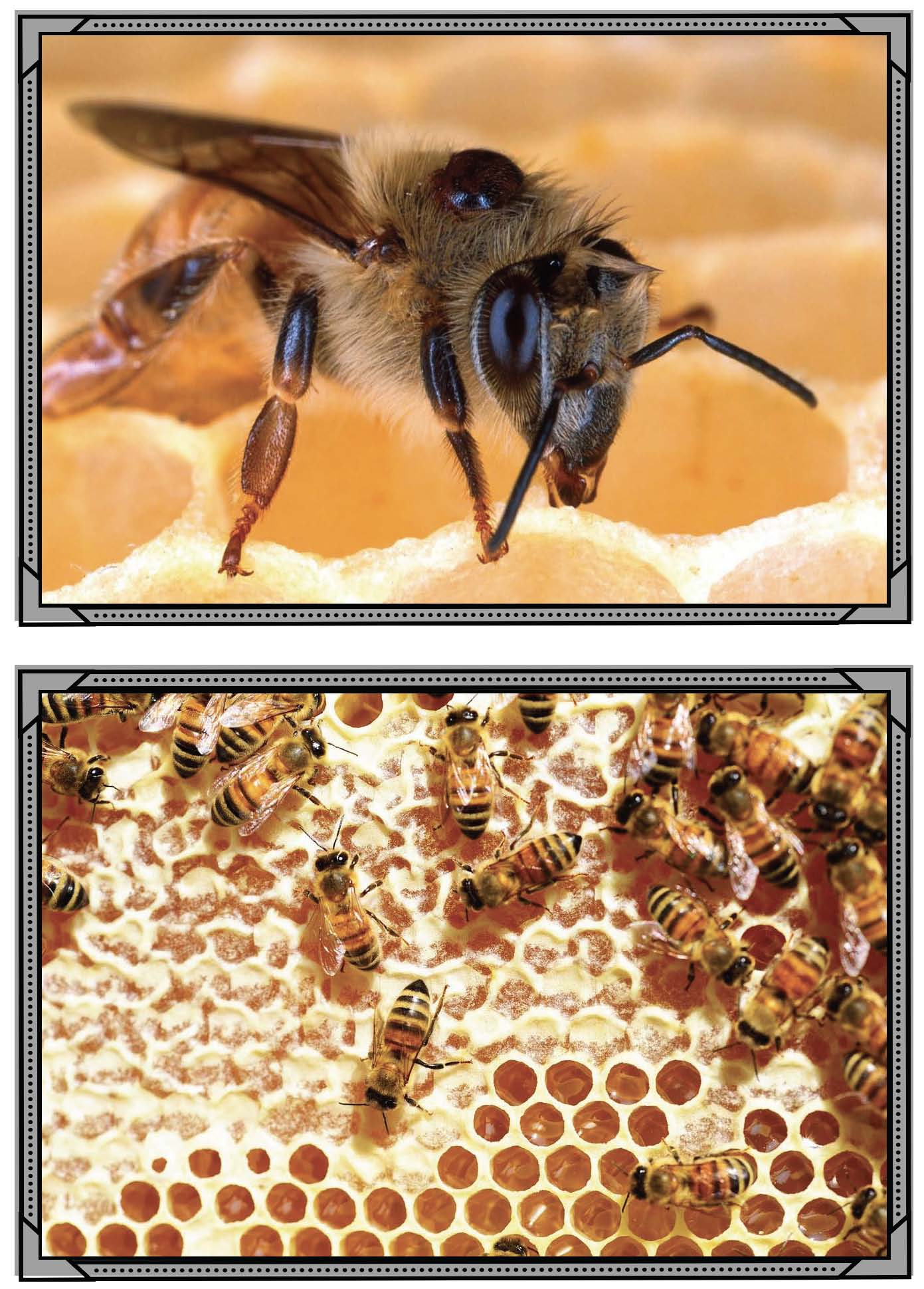 real photographs of bees their life cycle hives honey beekeepers Page 1