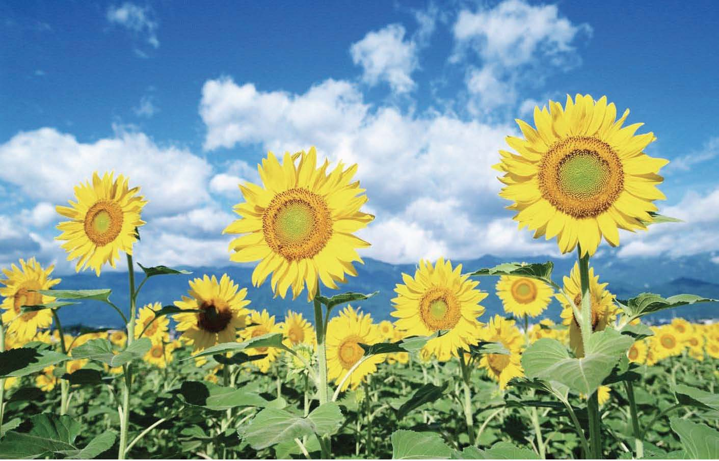 pix of sunflowers