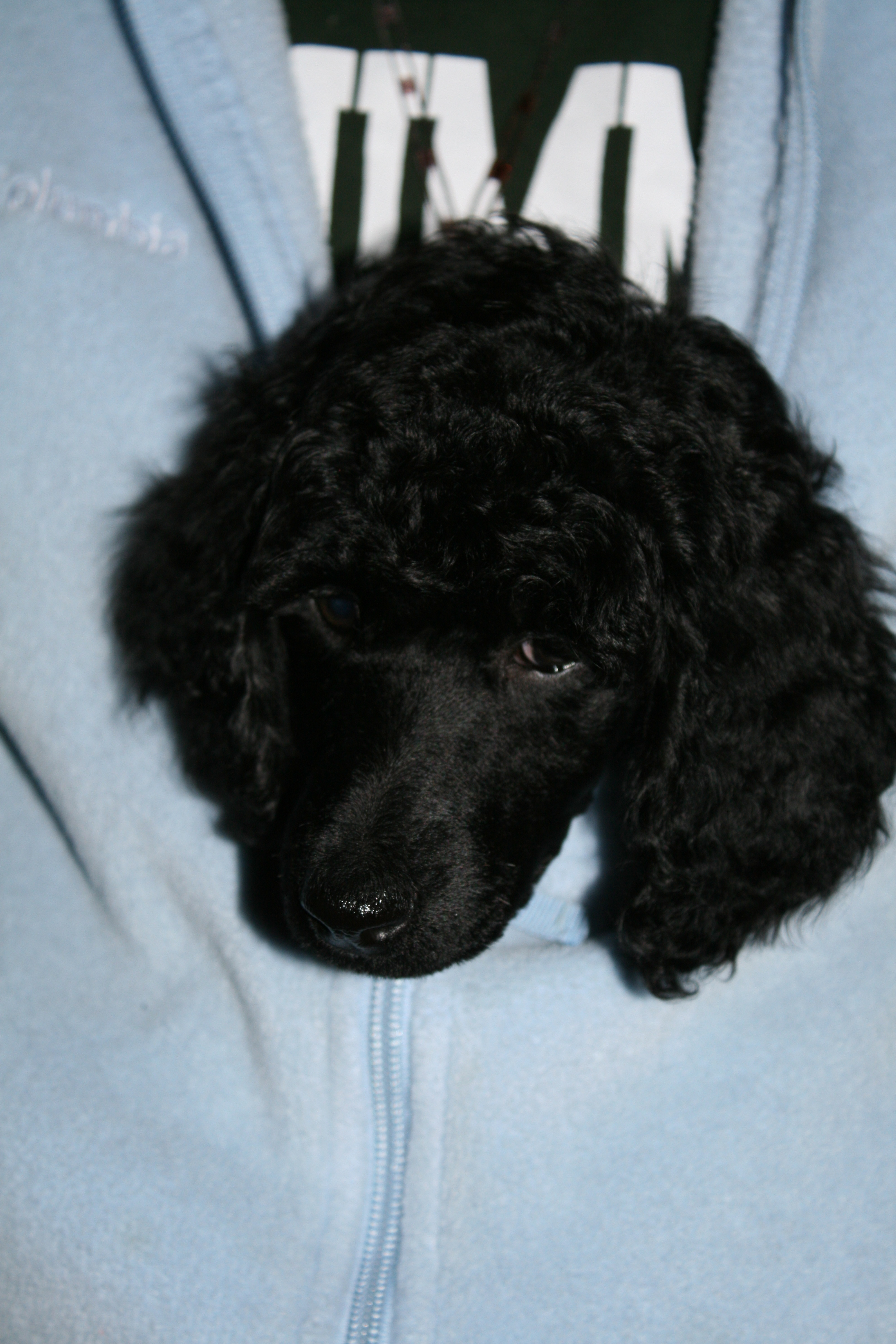 black standard poodle puppy, pet parade, end of the year activities