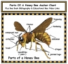 Parts of a Honey Bee Anchor Chart With Bibliography & Video Links